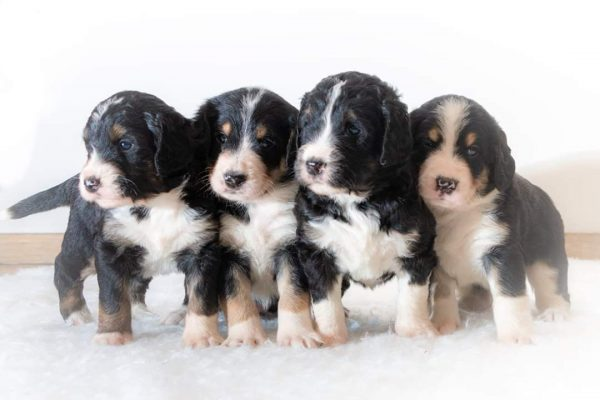 sennendoodles-puppys